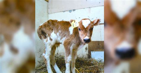 """Sick calf is called """"garbage"""" at auction - then an animal"""