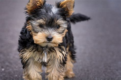 Dog Breed Guide - Yorkshire Terrier   Dogs, Cats, Pets