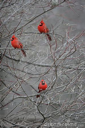 Red Cardinals Royalty Free Stock Image - Image: 4402296