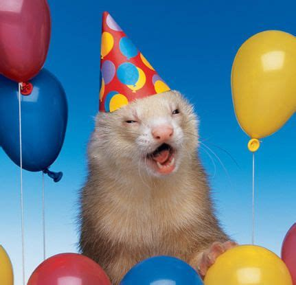 Ferret in a Party Hat with Balloons!   Happy Birthday