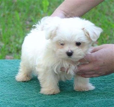 Maltese Puppies For Free Adoption for sale in Aberdeen