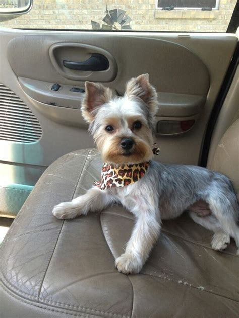 14 Haircut Decisions For Your Yorkshire Terrier   PetPress