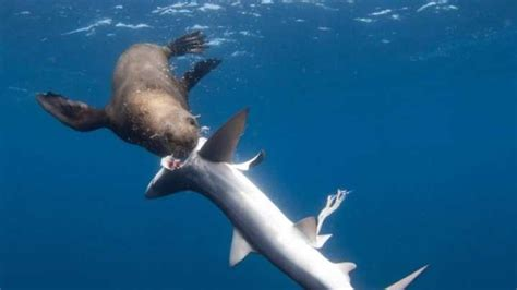Seal Attacks And Devours Guts Of 5 Sharks In One Sitting
